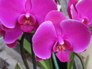 Buy 1 Orchid, Get 1 Orchid 25% Off