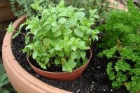 mint-in-containers