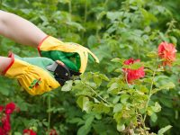 how-to-prune-roses-shutterstock