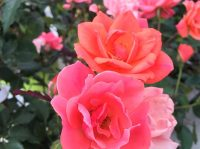 coral-knockout-roses