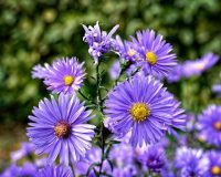how_to_grow-asters