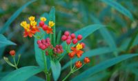 mexican-butterfly-weed-asclepias-curassavica-flower-cluster-2vx0pkhjwo53c9xzw4lb7u