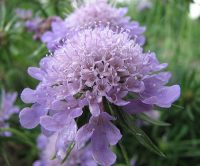 pincushion-flower-7