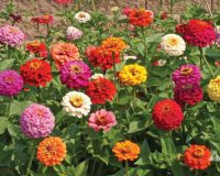 Pumila-Mix-Zinnia-Seeds