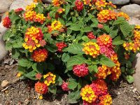 dallas-red-lantana
