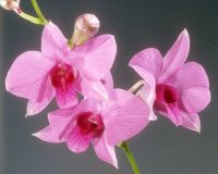 orchid (Cooktown Orchid) - blossom / Dendrobium phalaenopsis