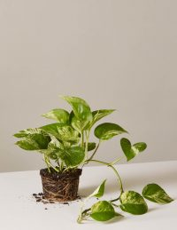 the-sill_pothos-plant-marble_1_4_1024x1024