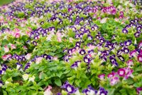 wishbone-flower-background-torenia-fournieri-garden-king-royal-flora-ratchapruek-chiangmai-thailand-37084266