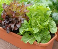 Growing-Lettuce-In-Containers-3