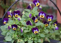 Violas such as these Sorbet Midnight Glow are great performers for containers, as long as gardeners keep the soil consistently moist. (Photo by MSU Extension/Gary Bachman)