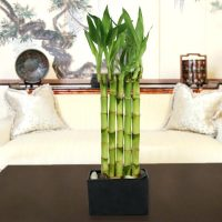 how-to-care-for-bamboo-plants-giving-plants-blog-potted-plant-growing-bamboo-indoors-garden-wall-lucky-bamboo-growing-bamboo-indoors-cuttings-grow-bamboo-indoors-soil-plant-bamboo-indoors
