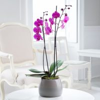 pink_phalaenopsis_twin_stem_orchid_2